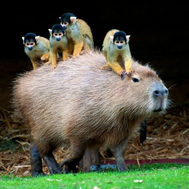 Why Do Animals Like Capybaras So Much 38 Pics Bored Panda