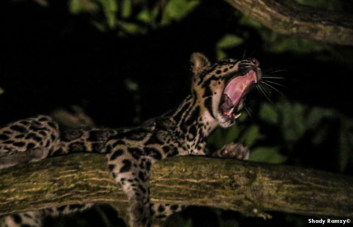 An Encounter With One Of The Rarest Wild Cats On Earth