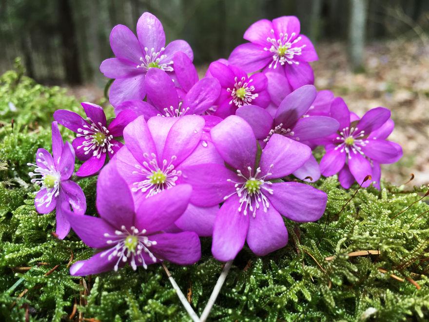 Rare Pink Violets