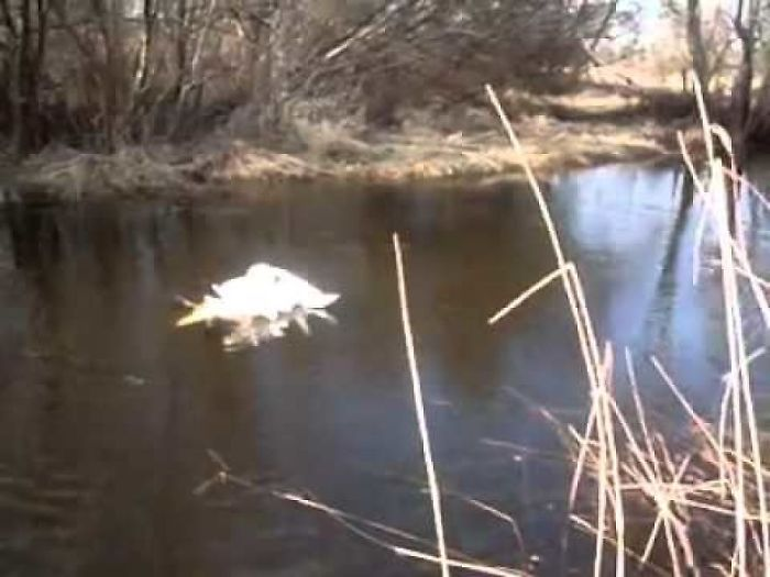 Entangled Swans Saved By A Man