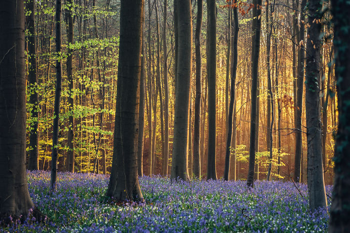 I Photographed A Fairy Tale-Like Forest In Belgium That Turns Blue Two Weeks A Year