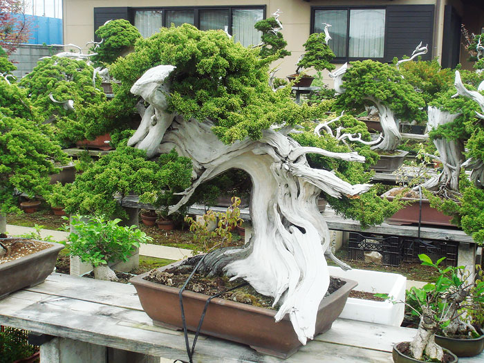 150 Year Old Bonsai
