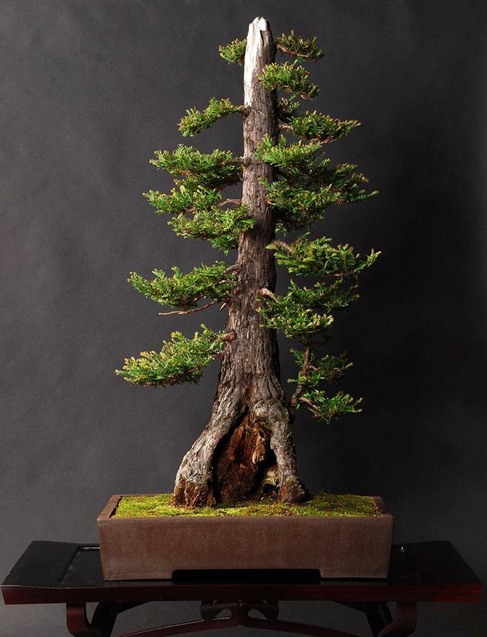 Bonsai Coastal Redwood