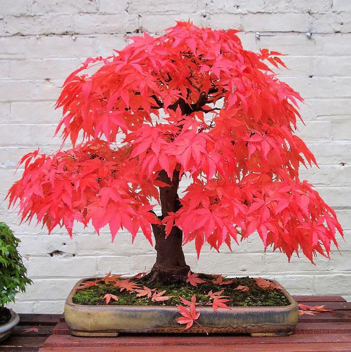 Arce rojo japonés