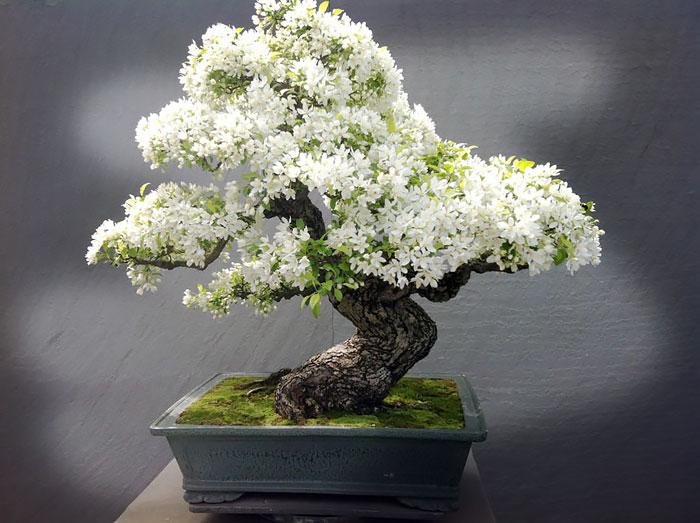 Bonsai-ის სურათის შედეგი