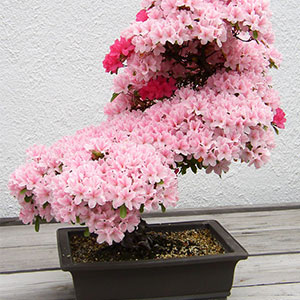 15+ Of The Most Beautiful Bonsai Trees Ever