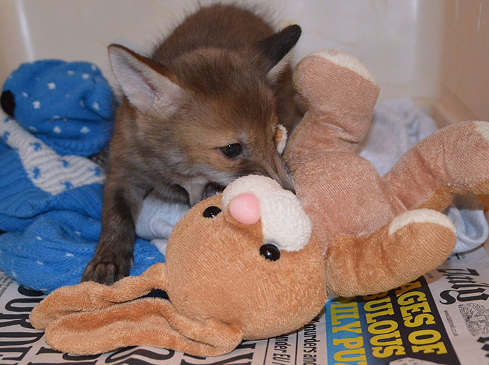 baby-fox-puggle-national-fox-welfare-society-26