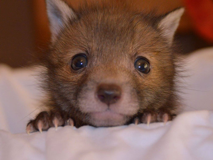 baby-fox-puggle-national-fox-welfare-society-38