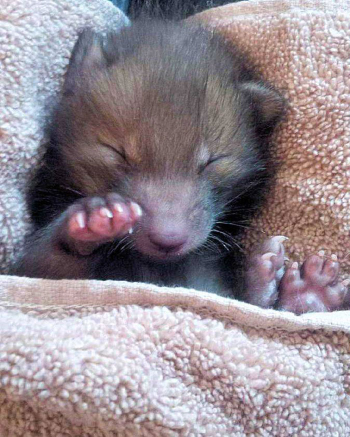 baby-fox-puggle-national-fox-welfare-society-44