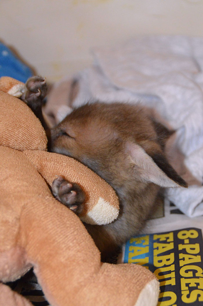 baby-fox-puggle-national-fox-welfare-society-7