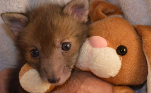 Rescue Baby Fox Loves Snuggling With His Plush Bunny Toy