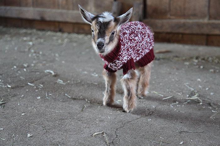 baby-goats-knit-sweaters-sunflower-farm-10