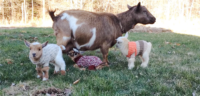 baby-goats-knit-sweaters-sunflower-farm-12