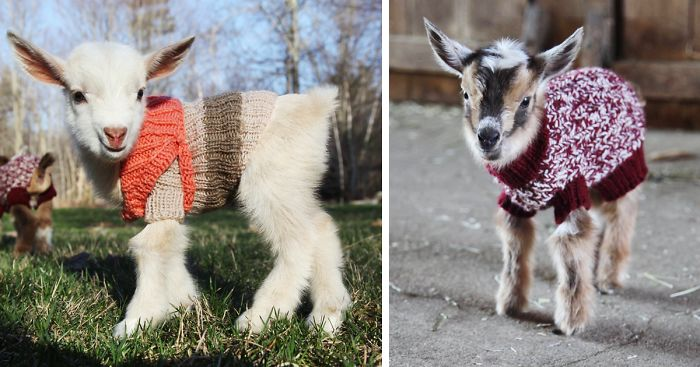 3 Newborn Goats Get Tiny Hand Knit Sweaters To Stay Warm