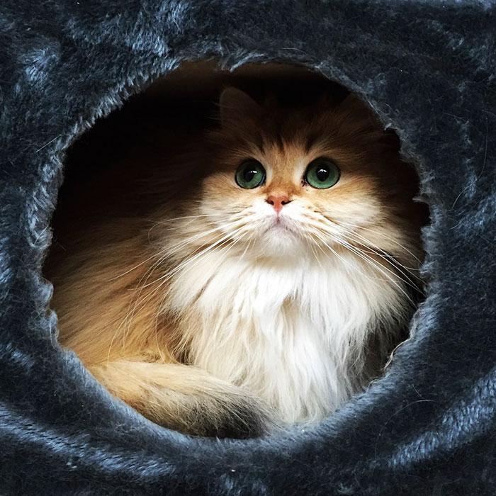 beautiful-fluffy-cat-british-longhair-11