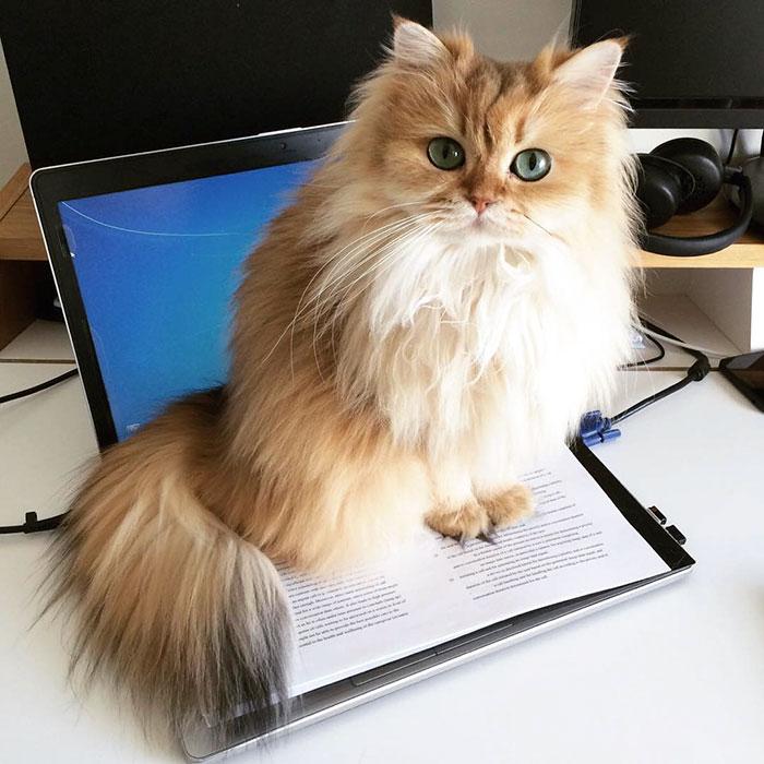 beautiful-fluffy-cat-british-longhair-13