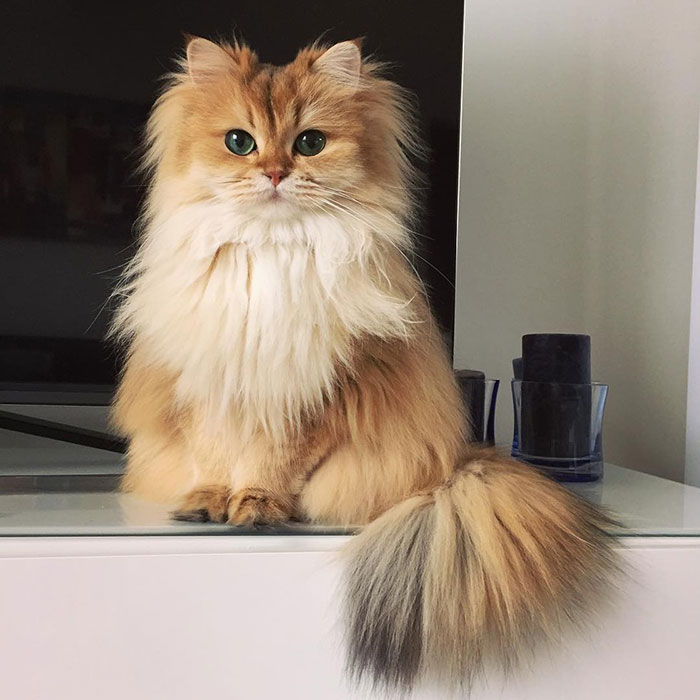 beautiful-fluffy-cat-british-longhair-22.jpg