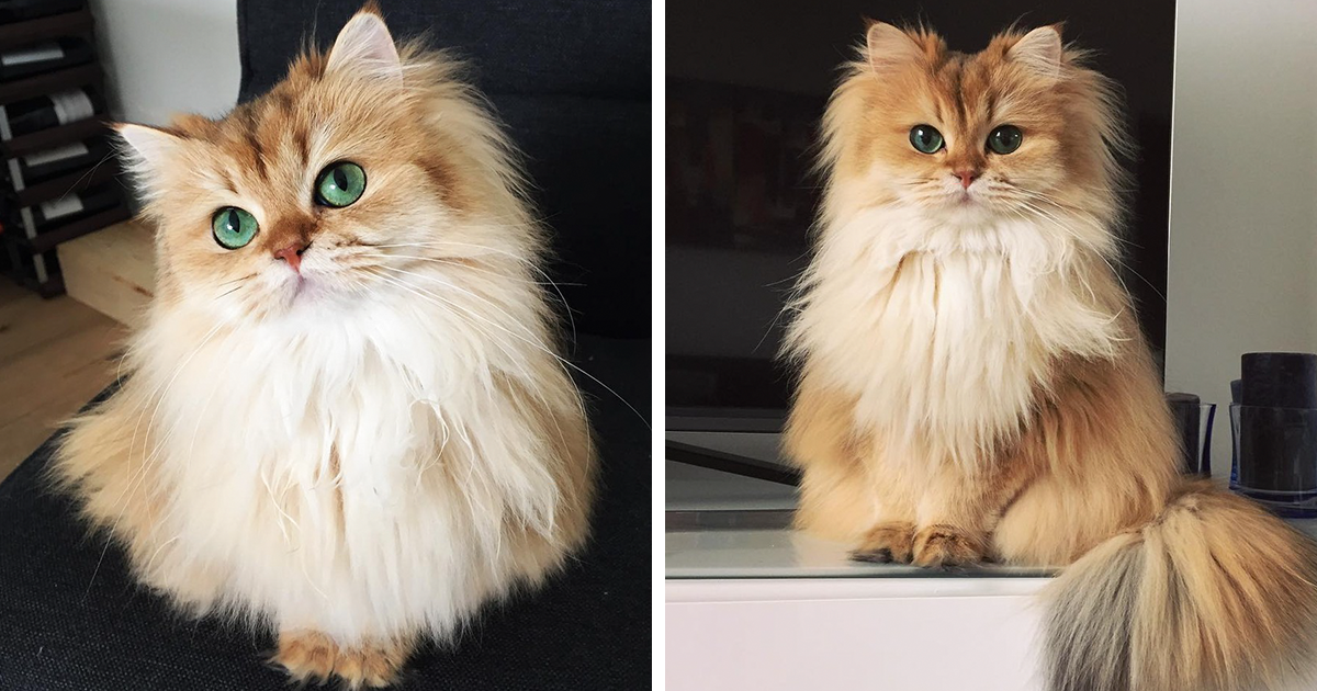 Worlds Long Haired Cat