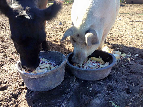 blind-cow-pig-friends-unusual-animal-friendships-baby-lulu-13