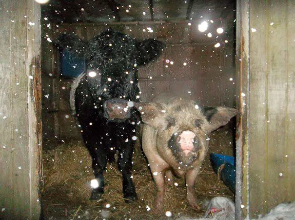blind-cow-pig-friends-unusual-animal-friendships-baby-lulu-6