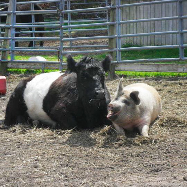 blind-cow-pig-friends-unusual-animal-friendships-baby-lulu-8