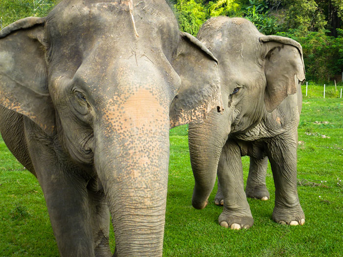blind-elephant-cries-dead-friend-mae-perm-jokia-1