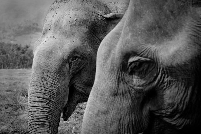 blind-elephant-cries-dead-friend-mae-perm-jokia-11
