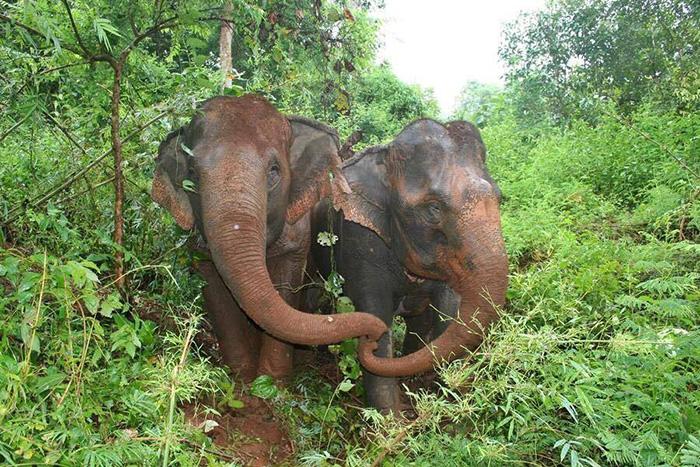 blind-elephant-cries-dead-friend-mae-perm-jokia-5