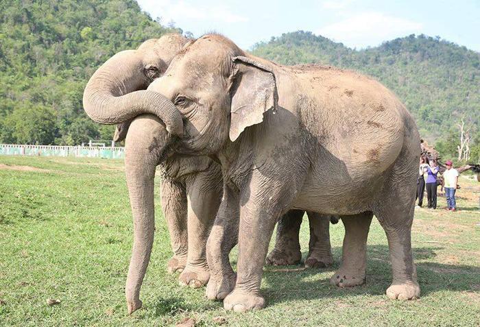 blind-elephant-cries-dead-friend-mae-perm-jokia-8