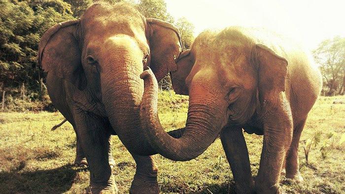 blind-elephant-cries-dead-friend-mae-perm-jokia-9