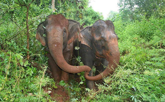 Blind Elephant Cries Over Her Dead Soulmate, Won't Let People Bury Her