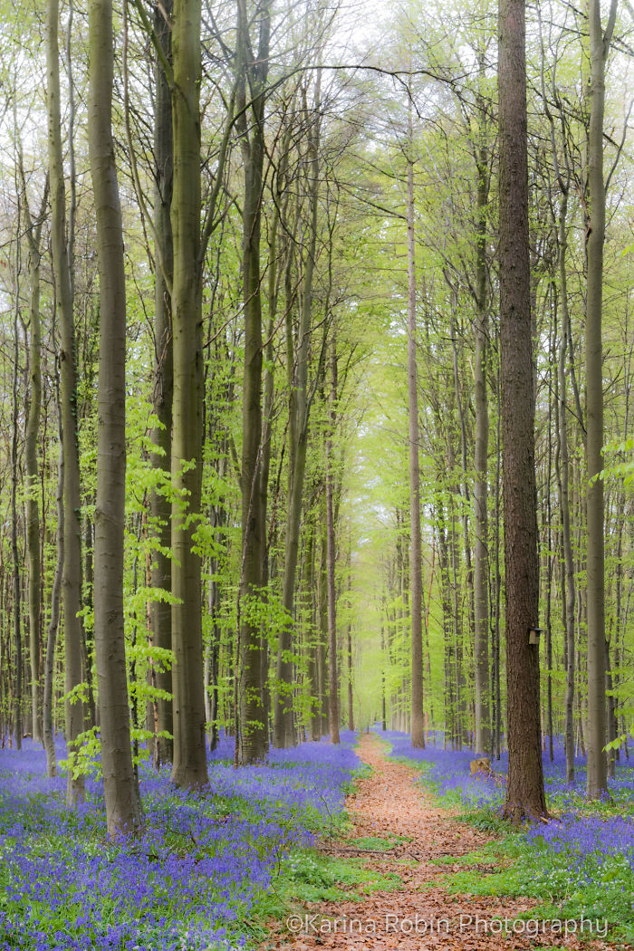 Last Sunday I Enjoyed Spring In The Bluebell Forest Of The Hallerbos In Belgium