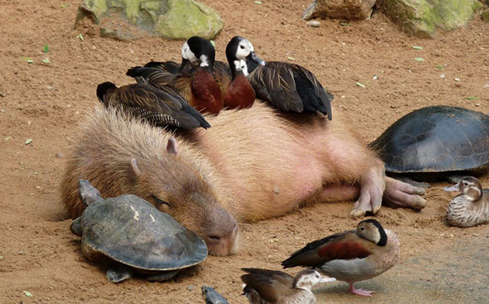 Why Do Animals Like Capybaras So Much? (38 Pics)