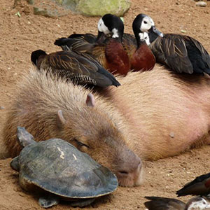 Why Do Animals Like Capybaras So Much? (18+ Pics)