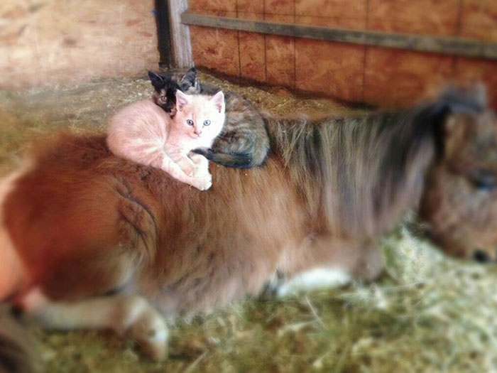 cat-rides-farm-animals-teton-snowfall-ranch-2
