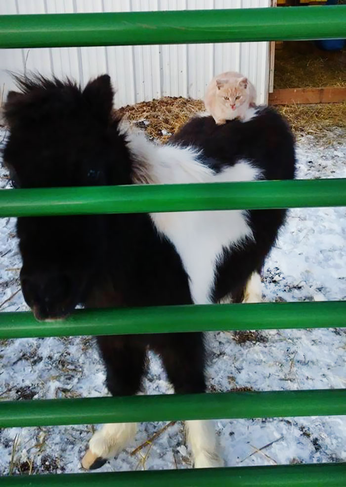 cat-rides-farm-animals-teton-snowfall-ranch-4