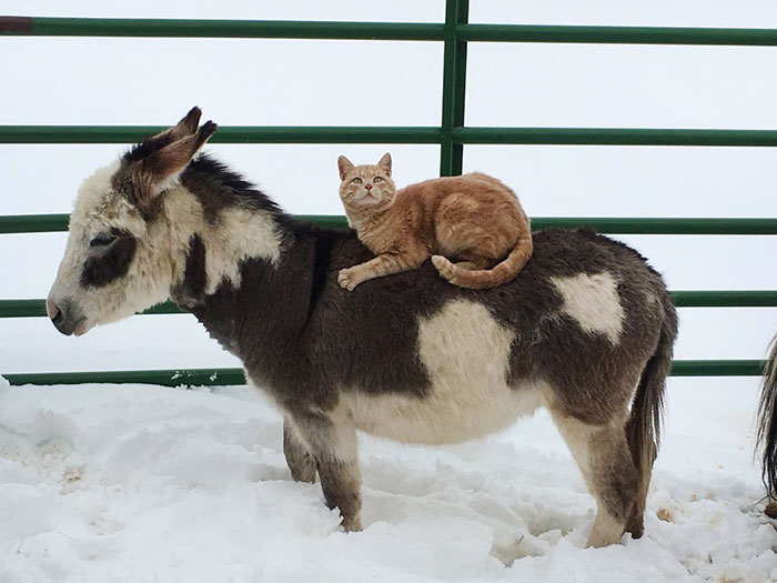 cat-rides-farm-animals-teton-snowfall-ranch-6