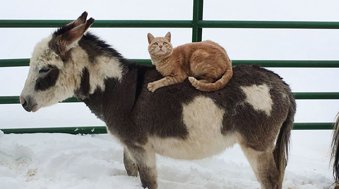 Cat Rides Farm Animals To Show Who's The Boss