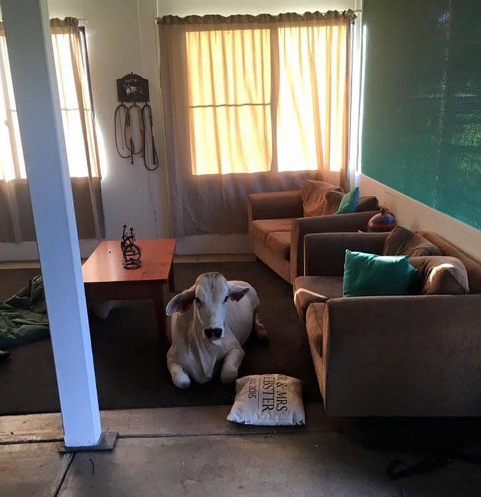 cow-breaks-home-dog-brahman-beryl-1