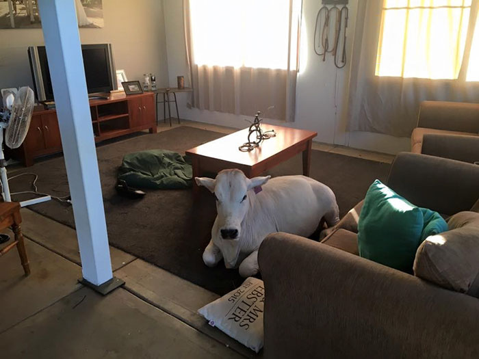 cow-breaks-home-dog-brahman-beryl-2