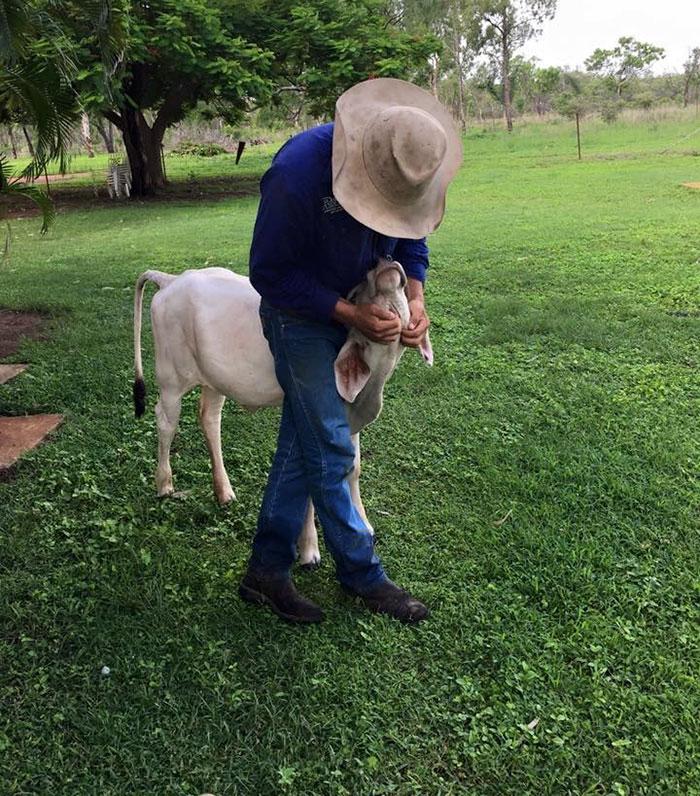 cow-breaks-home-dog-brahman-beryl-4