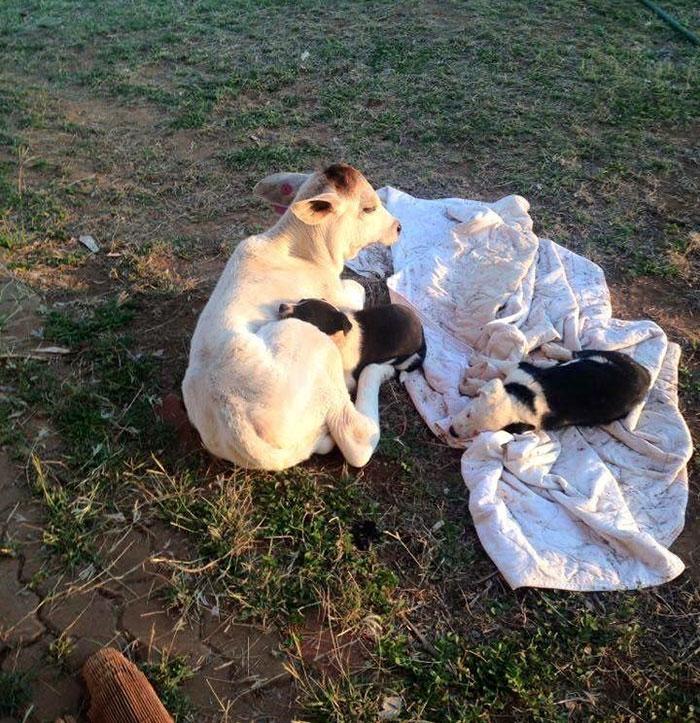 cow-breaks-home-dog-brahman-beryl-6