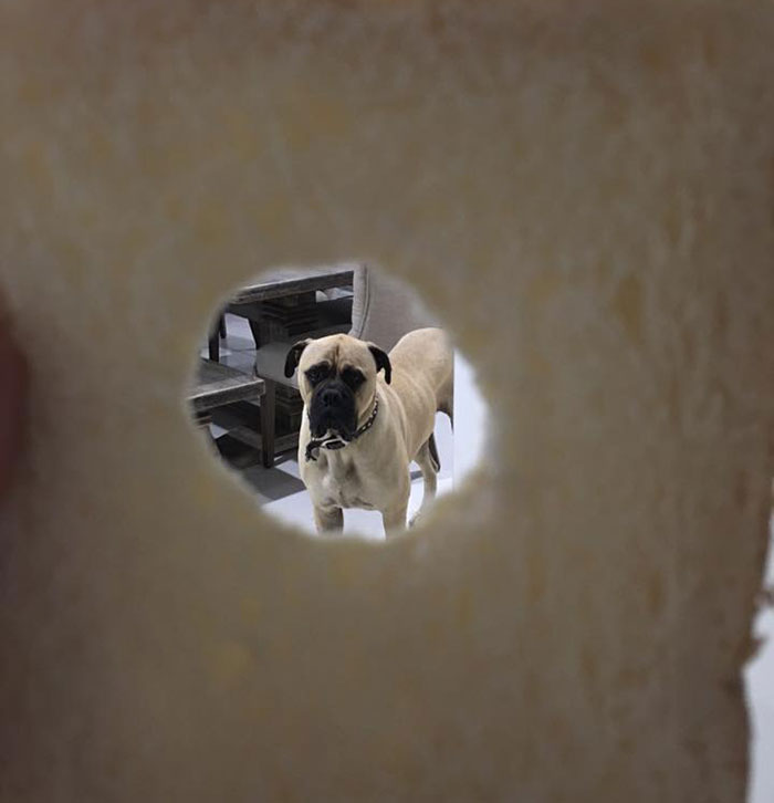 creepy-dog-stalks-owner-cyrus-bullmastiff-lauren-birney-19