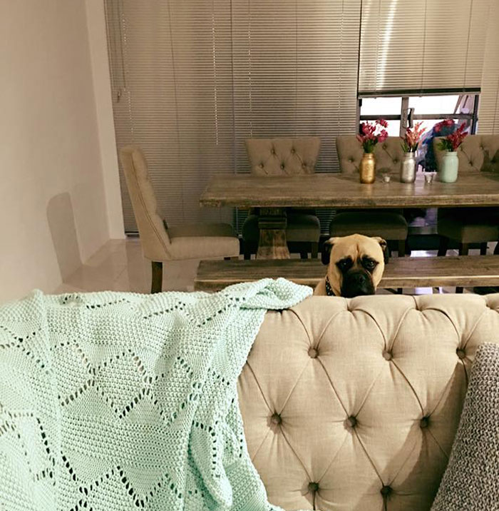 creepy-dog-stalks-owner-cyrus-bullmastiff-lauren-birney-26