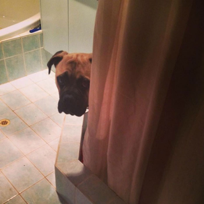 creepy-dog-stalks-owner-cyrus-bullmastiff-lauren-birney-42