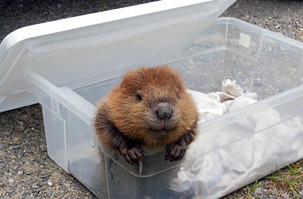 Smiling Baby Beaver