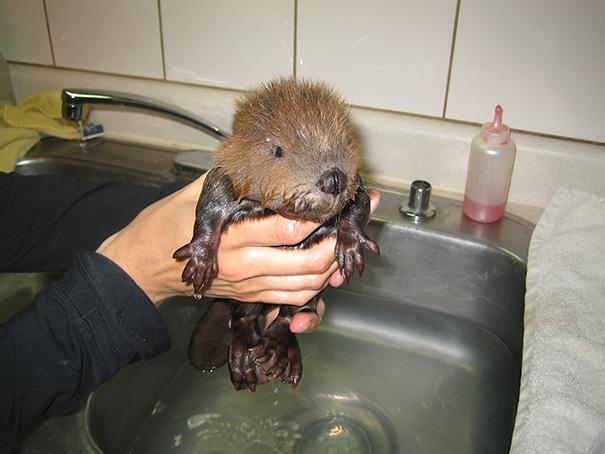 Baby Beaver Bathing