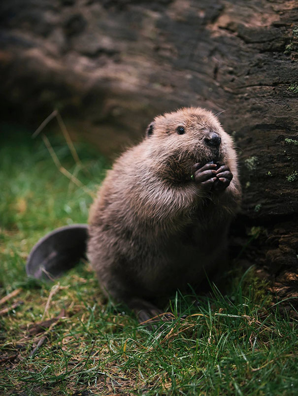 A Beaver's Teeth 10+ Adorable Ba...