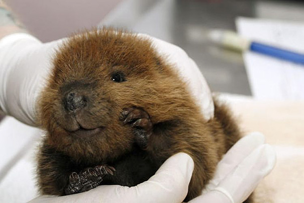 Baby Beaver Looking Snuggle-Able