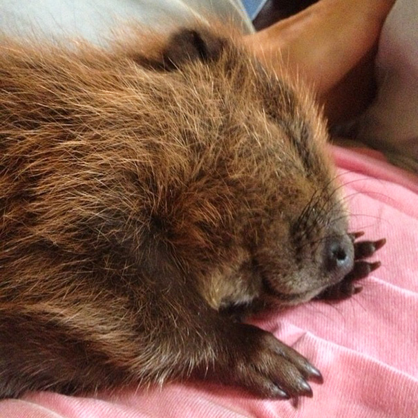 My Uncle Rescued This Baby Beaver
